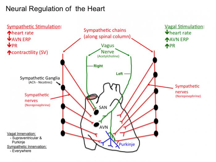 Introductiontocardiacphysiologyelectrophysiology Tusom Pharmwiki