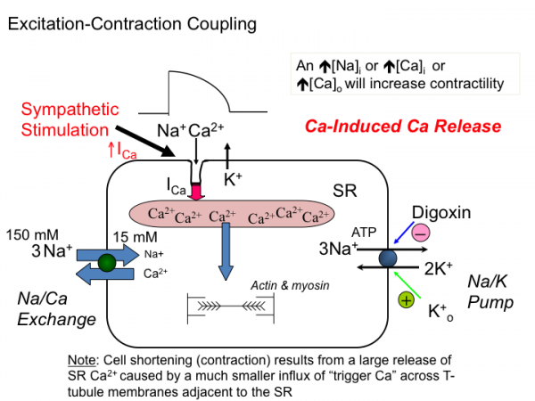 Introductiontocardiacphysiologyelectrophysiology tusom pharmwiki schematic diagram of the movements of ca during excitation contraction coupling in cardiac tissue the influx of ca during the action potential plateau ccuart Image collections