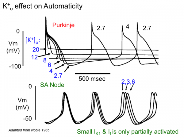 What are Purkinje fibers, and what is their function?