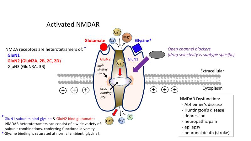 Risultati immagini per N-methyl-D-aspartate receptor (NMDAR)