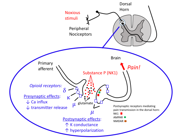 Overviewofcnsneurotransmitters tusom pharmwiki the role of substance p in the neurotransmission of pain in the dorsal horn and its modulation by opioid receptors both substance p nk1 and glutamate ccuart Gallery