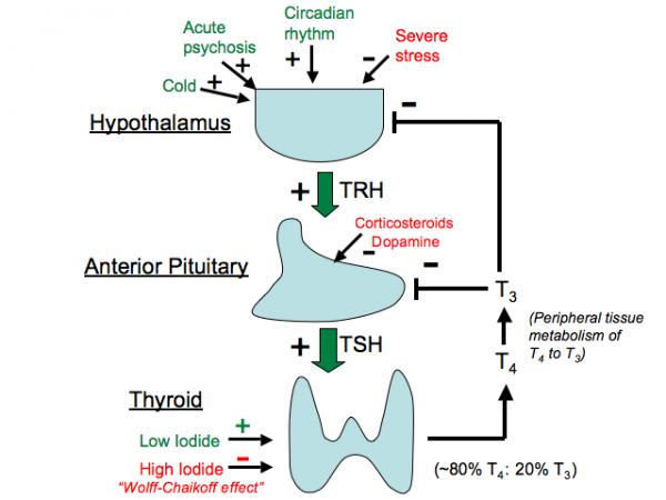 Thyroid Gland Tusom Pharmwiki